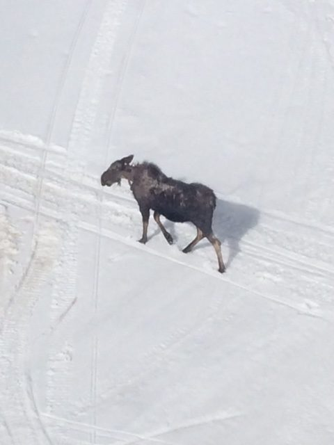 A moose is seen from the Gondola's at the Steamboat Ski Area.