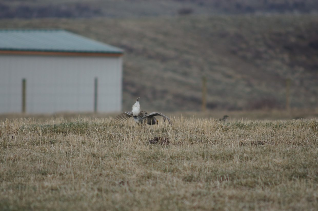 A grouse is spotted in a field near Phippsburg.