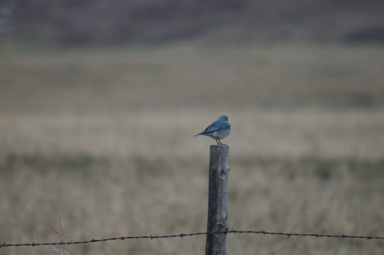 A bluebird sits on a fence post.