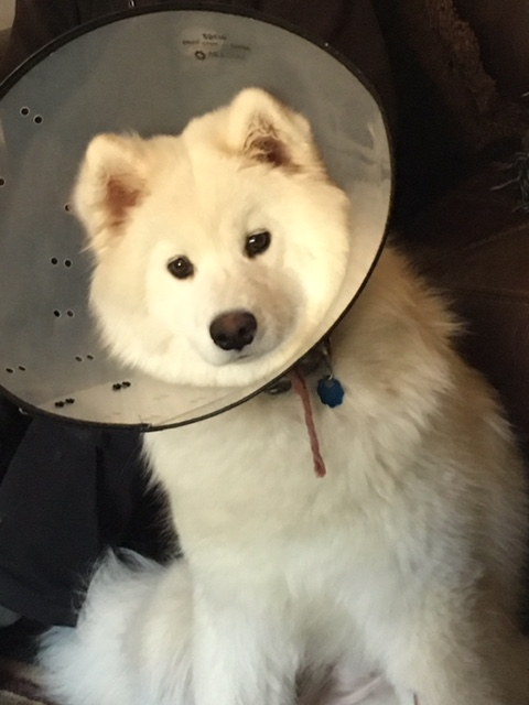 A dog wears a protection cone — commonly referred to as the cone of shame — after an operation.