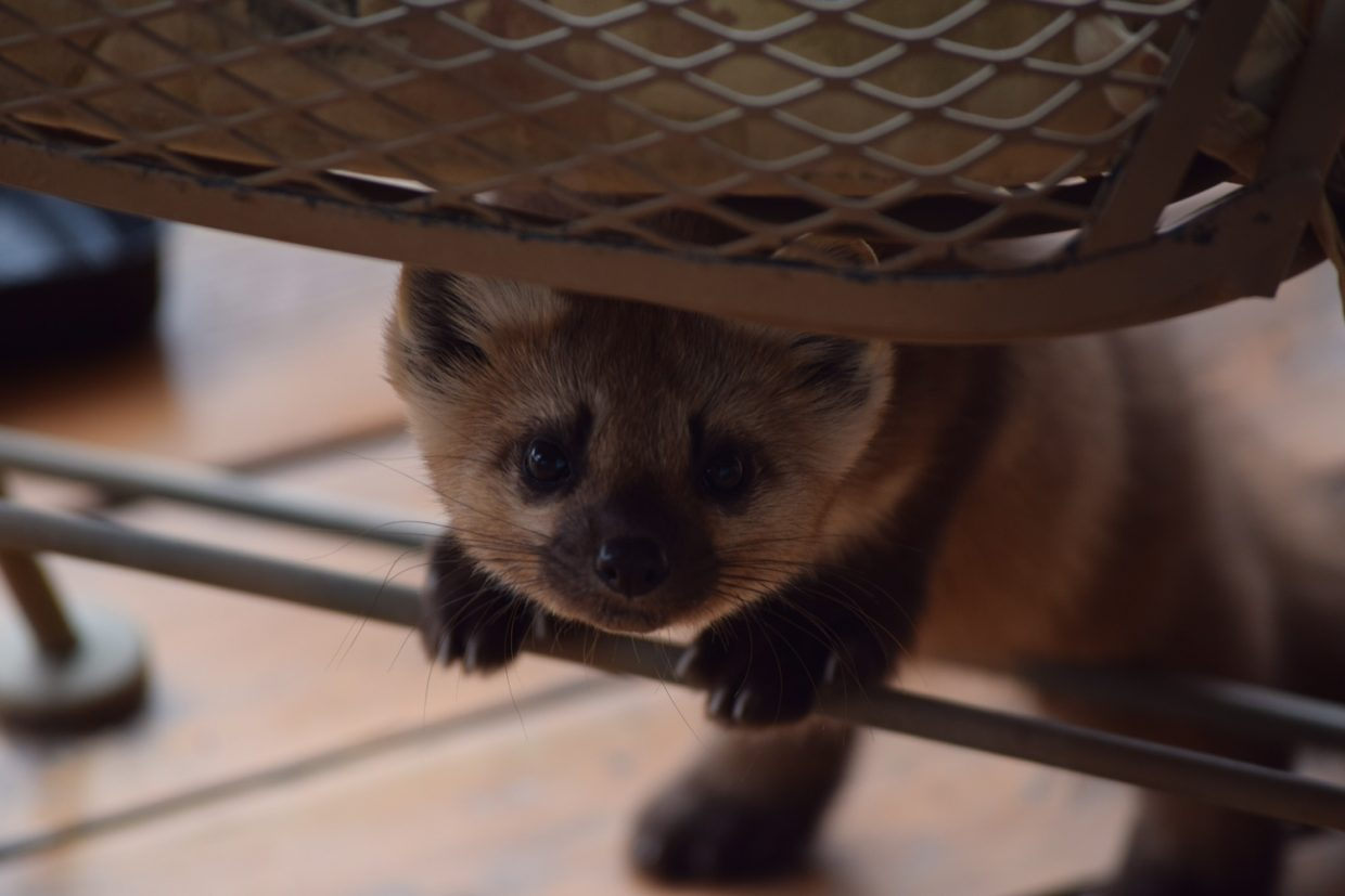 A playful marten (called Marty) hides under a chair on a back porch in Steamboat Springs.