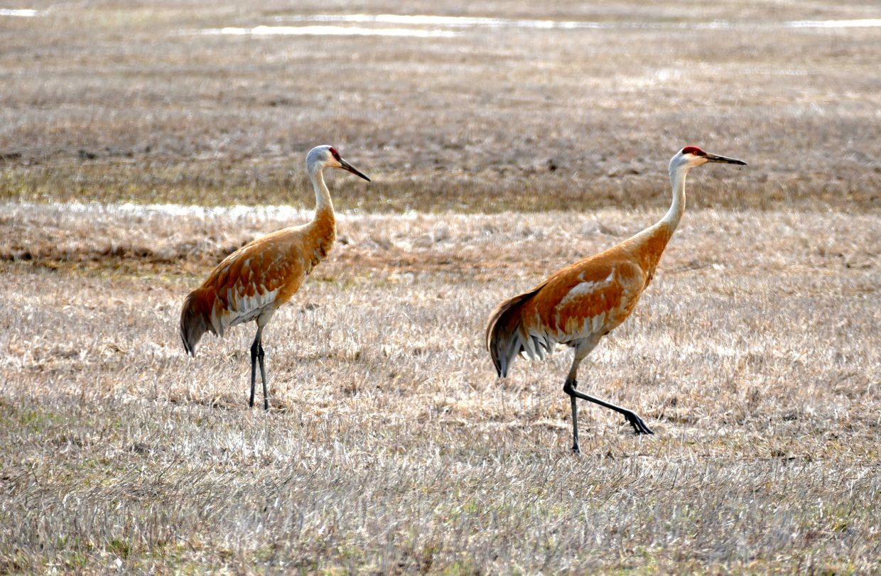 Pictures of a pair of sandhill cranes, hanging out along Hwy 40 near the base of Rabbit Ears Pass today. If you look closely, one has found a big worm! Steamboat has the Sandhill Crane Festival every September.