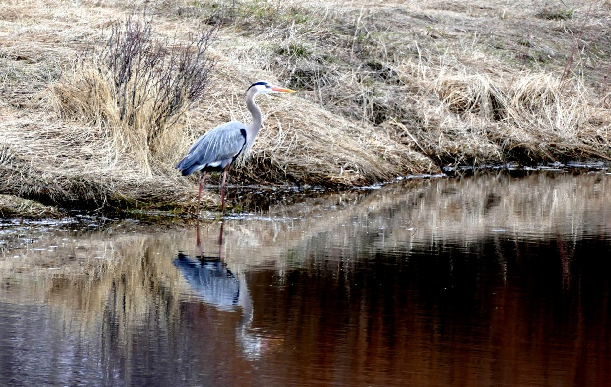 A blue heron hangs out on the edge of Steamboat Springs.