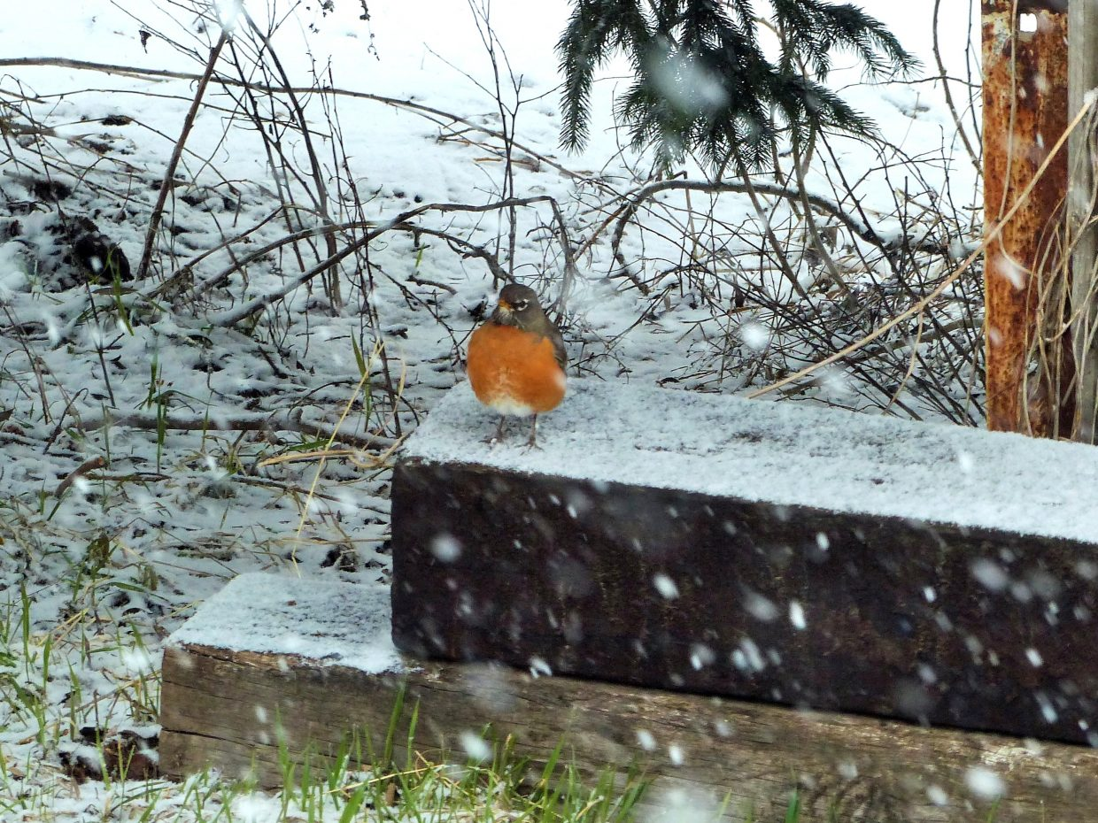 A robin seems confused by the snow after a full day of sunshine on Monday, April 16.