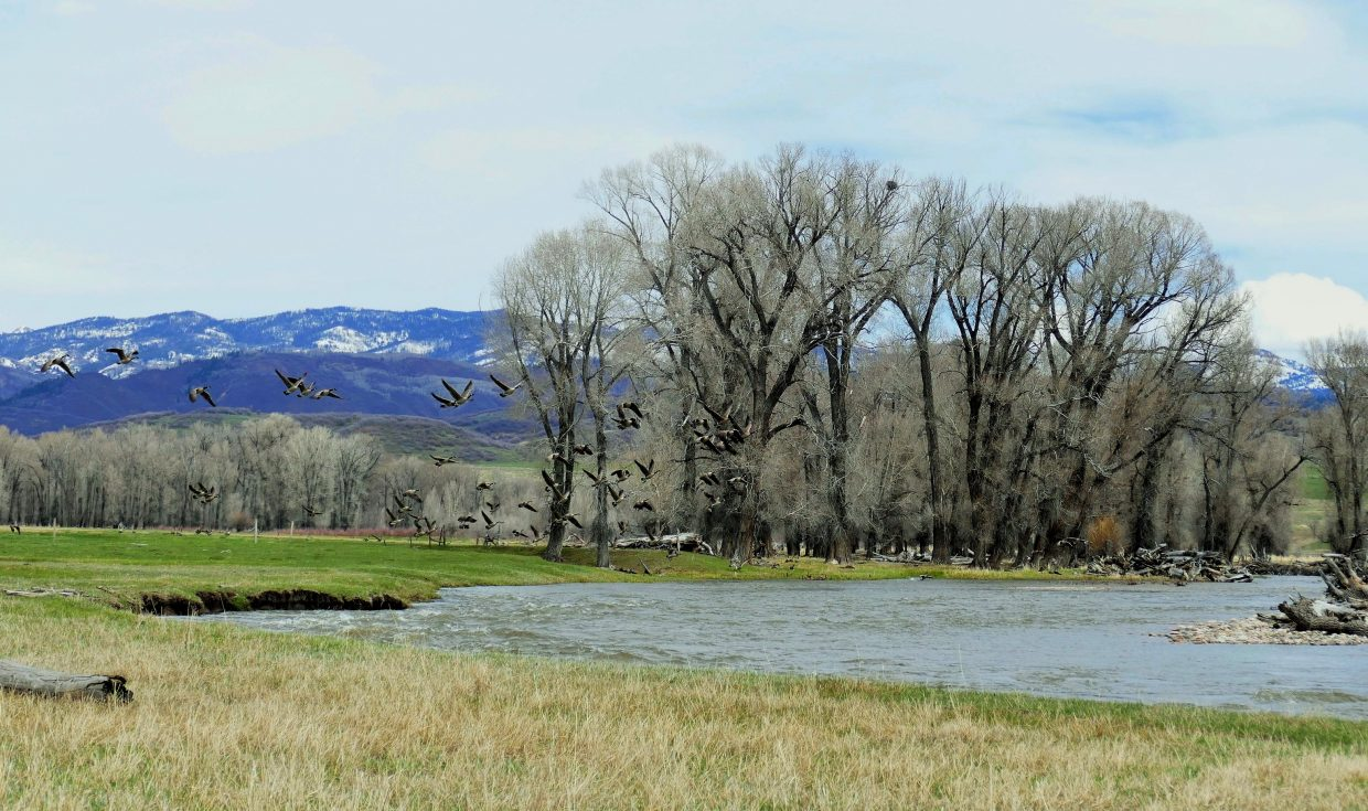 These geese were flying high over the Yampa River, which is also very high right now because of the snowmelt.