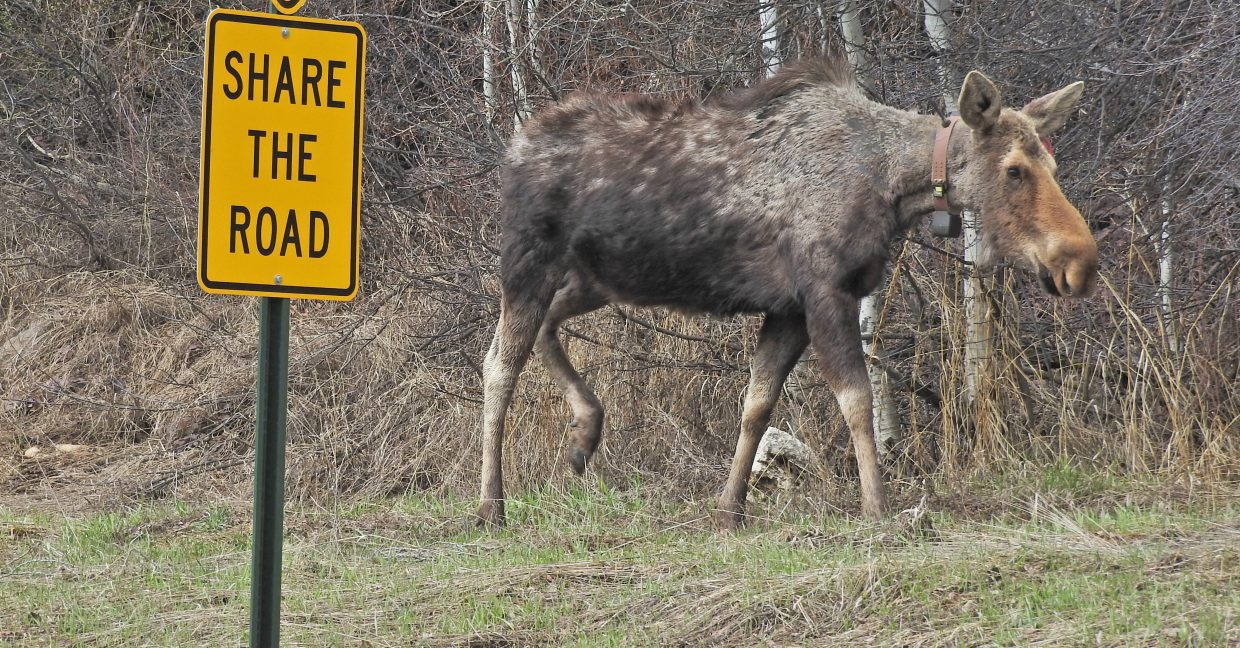 A moose walks along River Road in Steamboat Springs.
