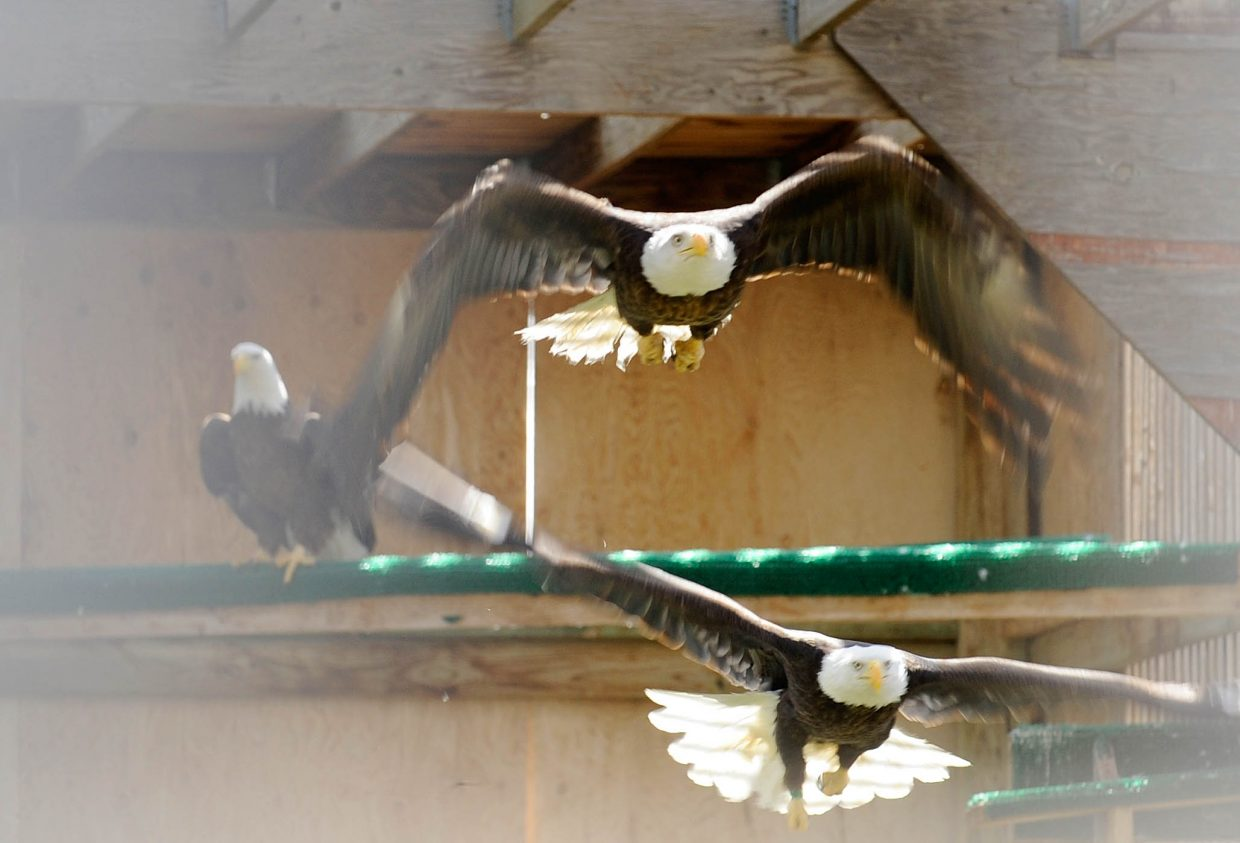 Bald eagles recover in the flight cages at the Birds of Prey Rehabilitation Foundation in Broomfield.