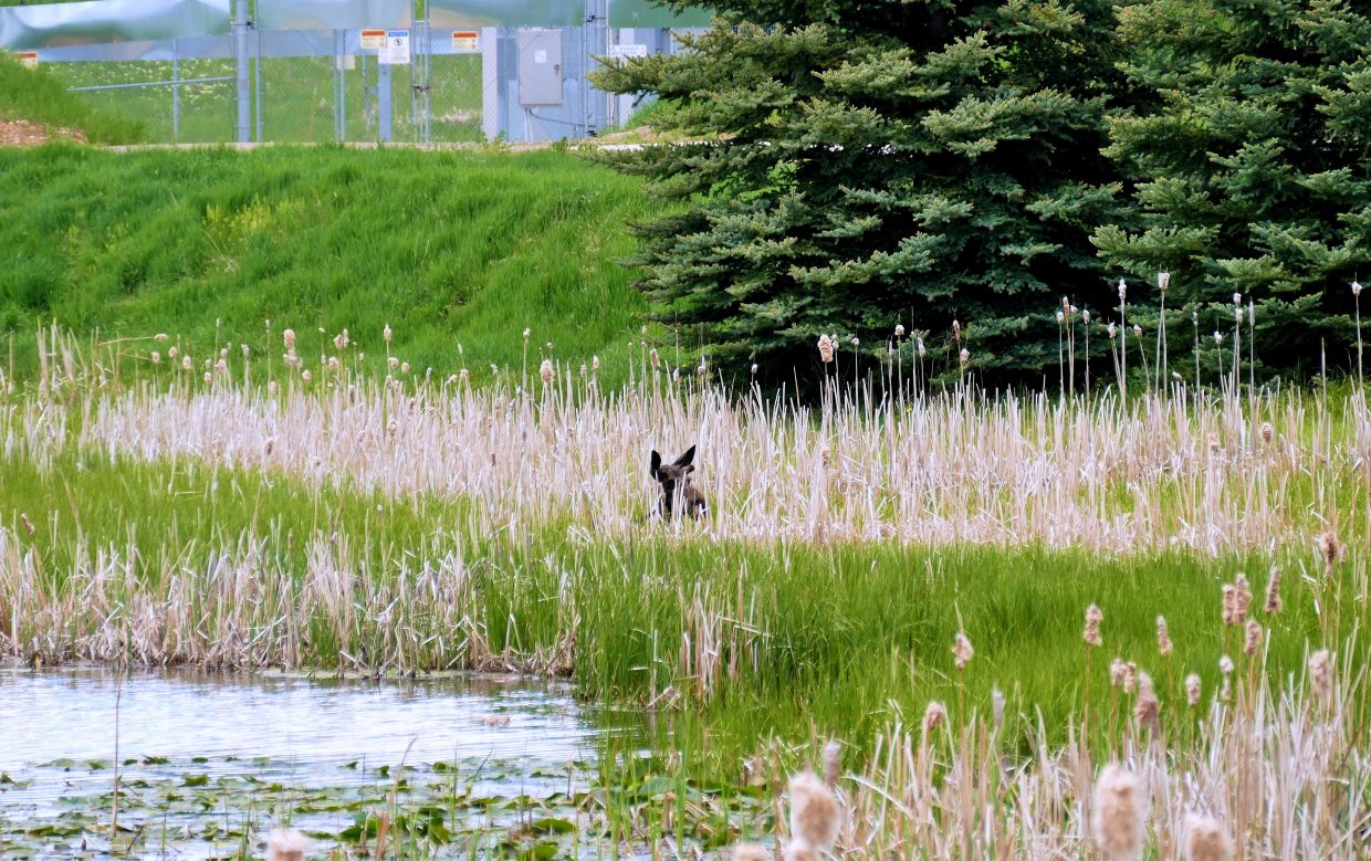 This bull moose yearling spent the morning at Casey's Pond in Steamboat Springs. It's the Casey's Pond Senior Living Community. He was hiding in the marsh, after a busy morning of people watching him.