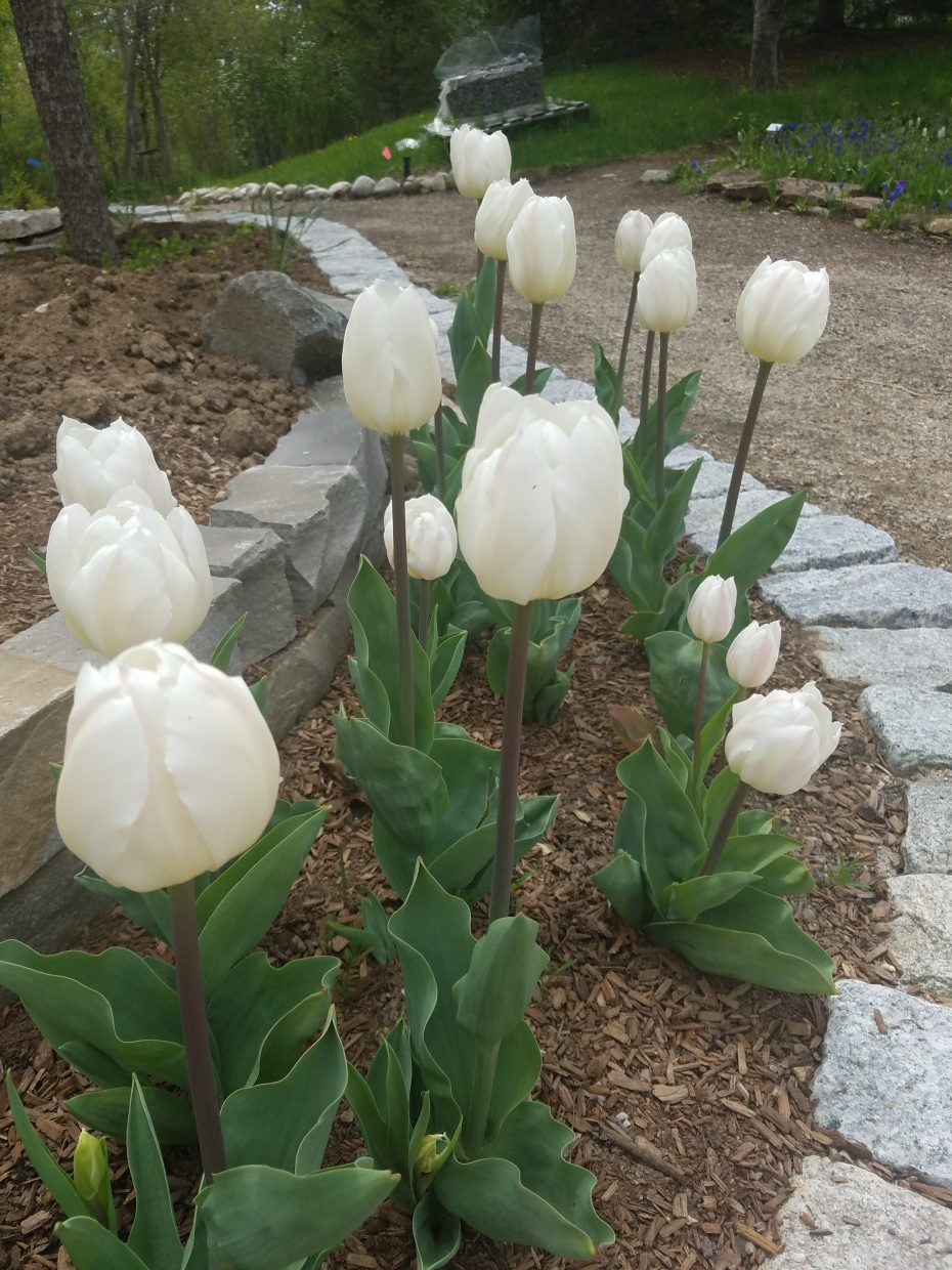 White tulips are blooming in Maddy's Garden of Light at the Yampa River Botanic Park.
