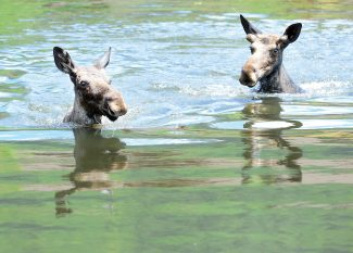 Video: Moose take dip in Casey's Pond on Wednesday
