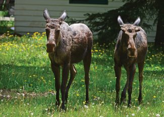 Steamboat man summoned to court after killing a moose calf with a pellet gun