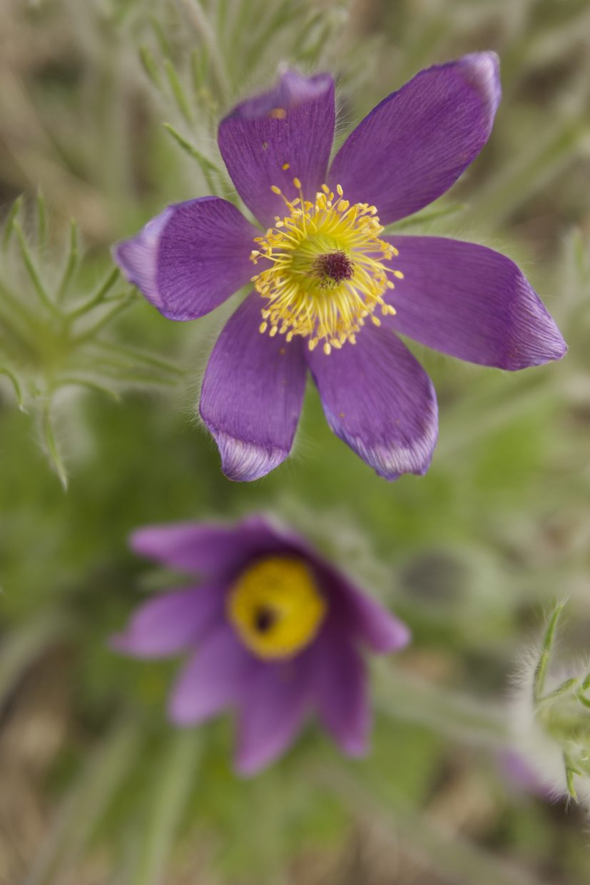 A pasque flower blooms at the Yampa River Botanic Park.