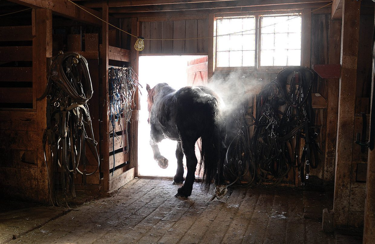 Steam rises off Kibbles, one of two Percheron draft horses Matt Belton used to feed cattle on his ranch.