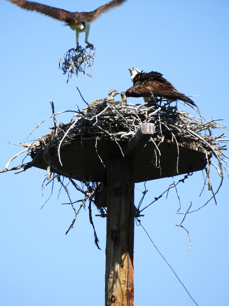 An osprey brings more nesting material to the rest of its family at the Yampa River Botanic Park.