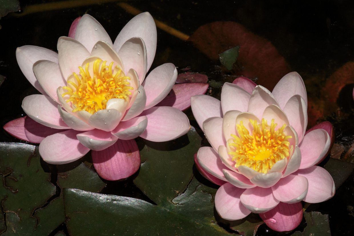 Water lilies in bloom at the Yampa River Botanic Park.
