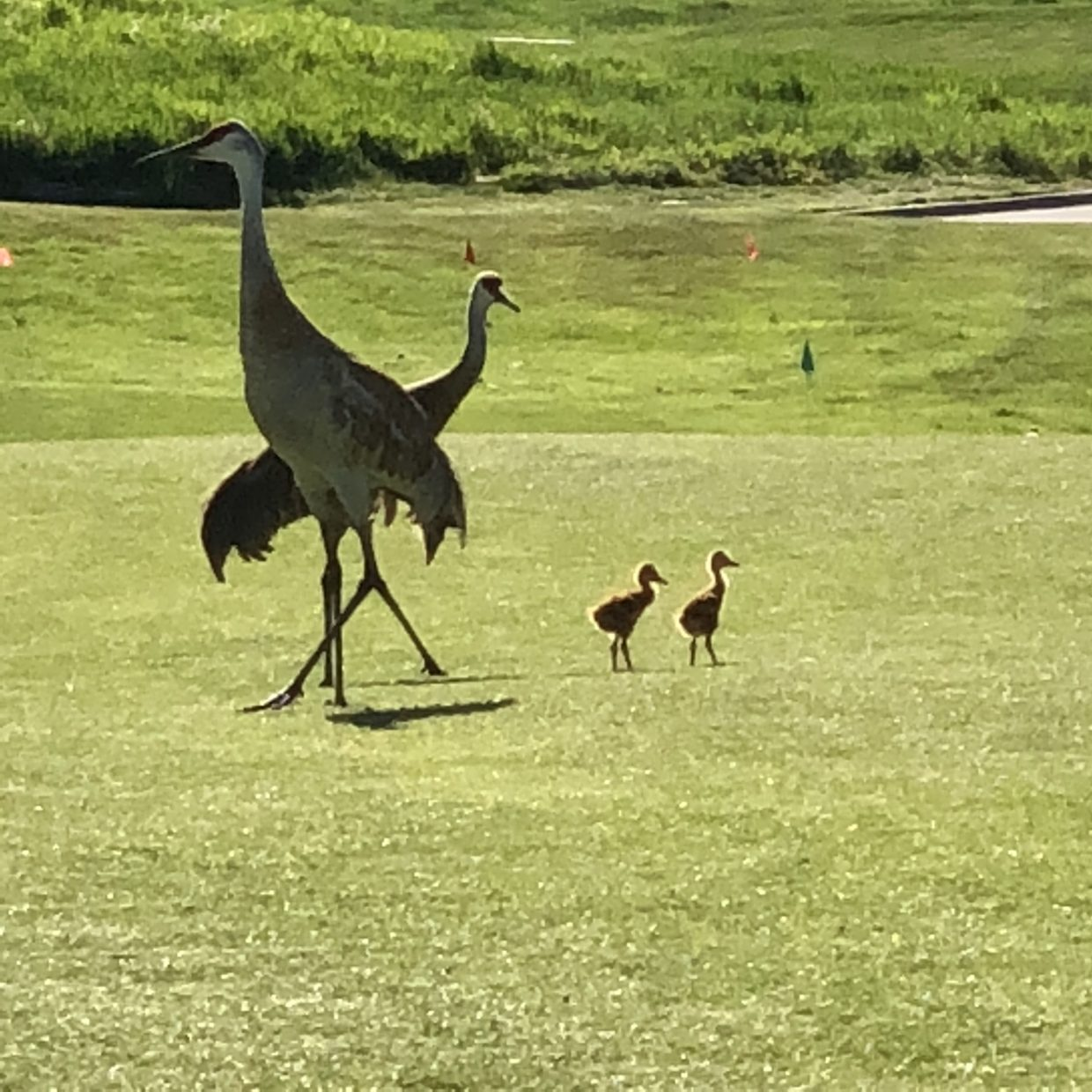 Sandhill Crane and his babies at the fifth hole at Haymaker Golf Course.