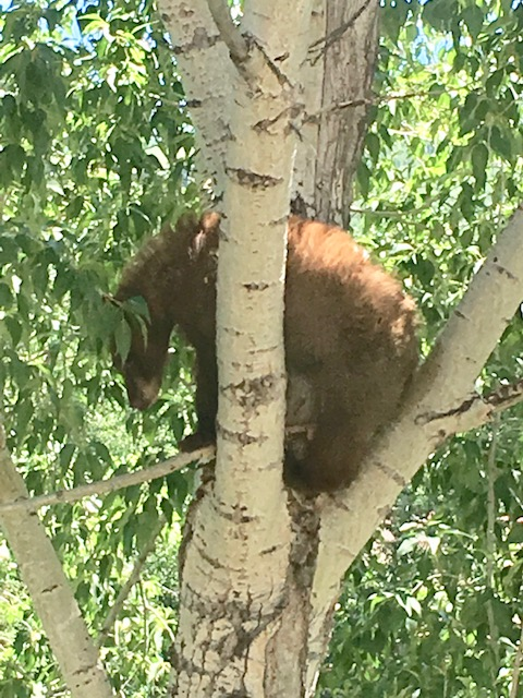Young Bear up a tree at Eagleridge Drive