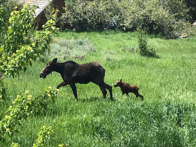 Mom moose and her baby