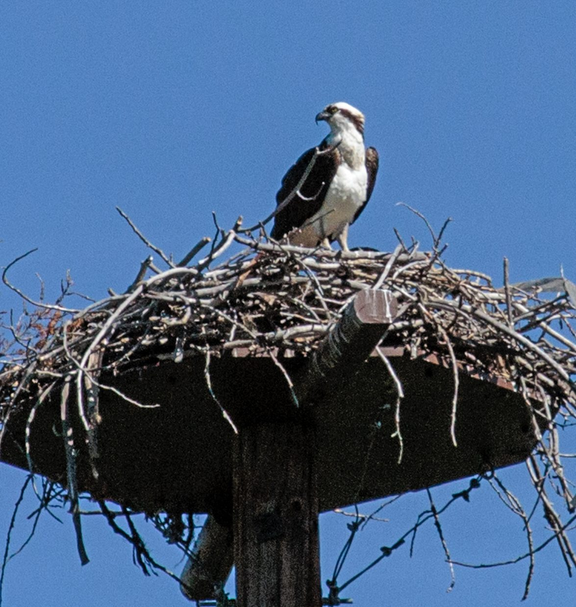 Osprey on nest along Yampa River Core Trail.