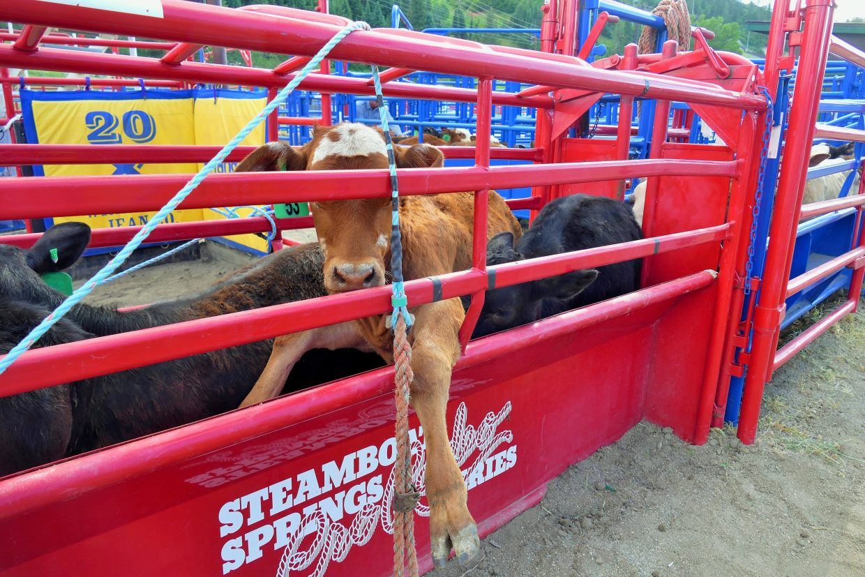 Couldn't help getting a picture of this cute little calf trying to sneak out of the chute!