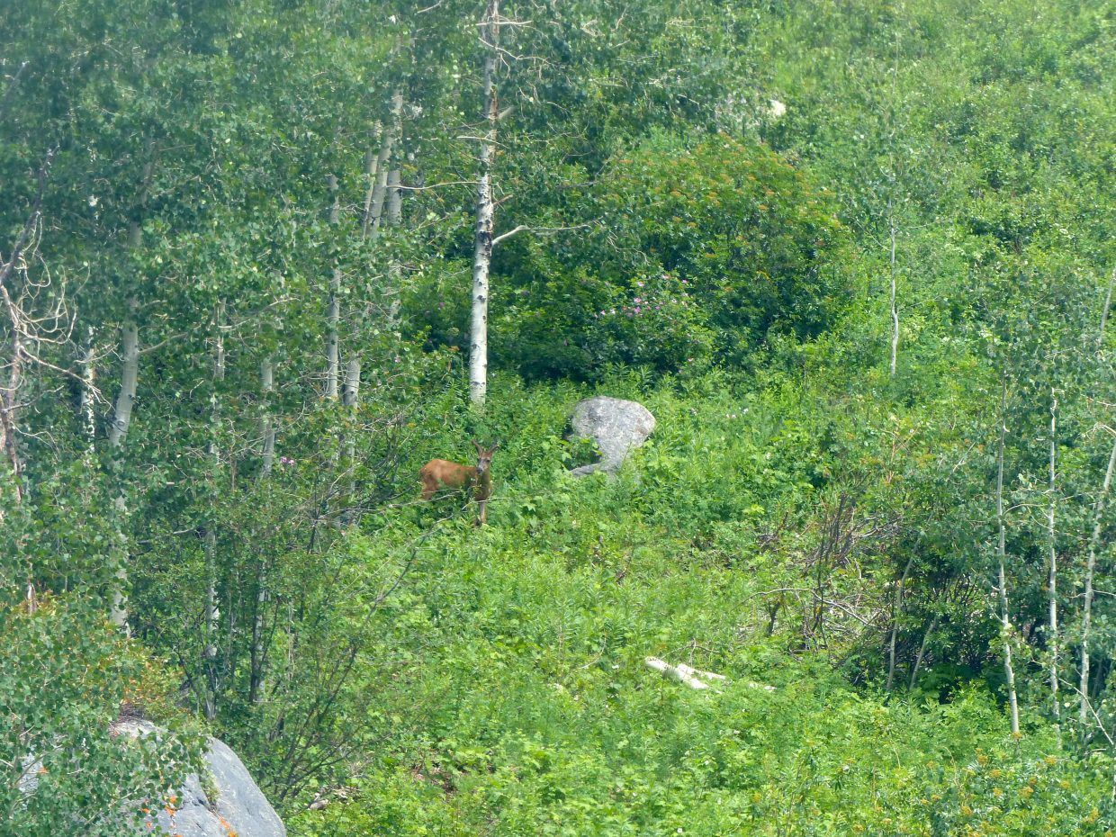 A deer stands in the green forest at Steamboat Resort.