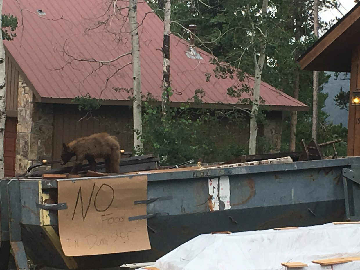 A baby bears climbs into a construction dumpster in search of food. Please be sure to not throw food in public dumpsters that are not bear proof.