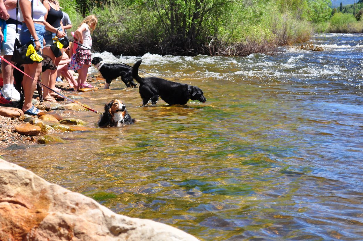 Dogs stay cool in the Yampa River diring the Yampa River Festival in Steamboat Springs.