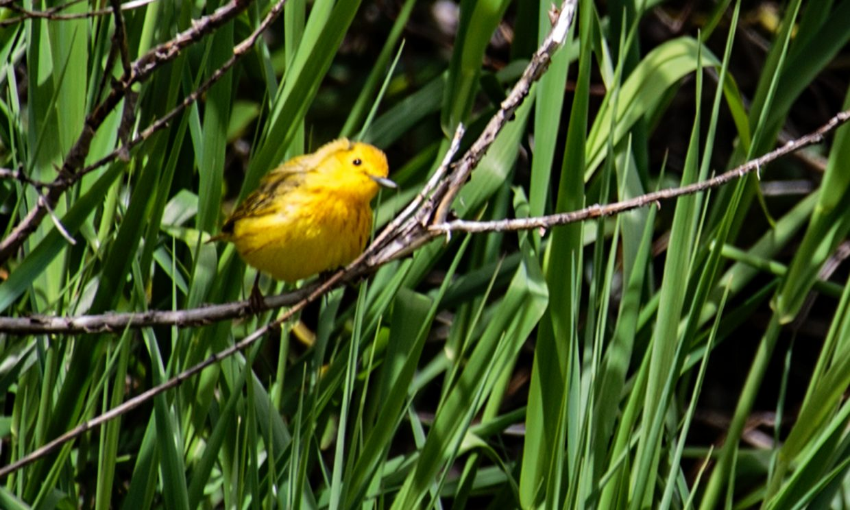 Yellow warbler near Rotary Park in Steamboat Springs.