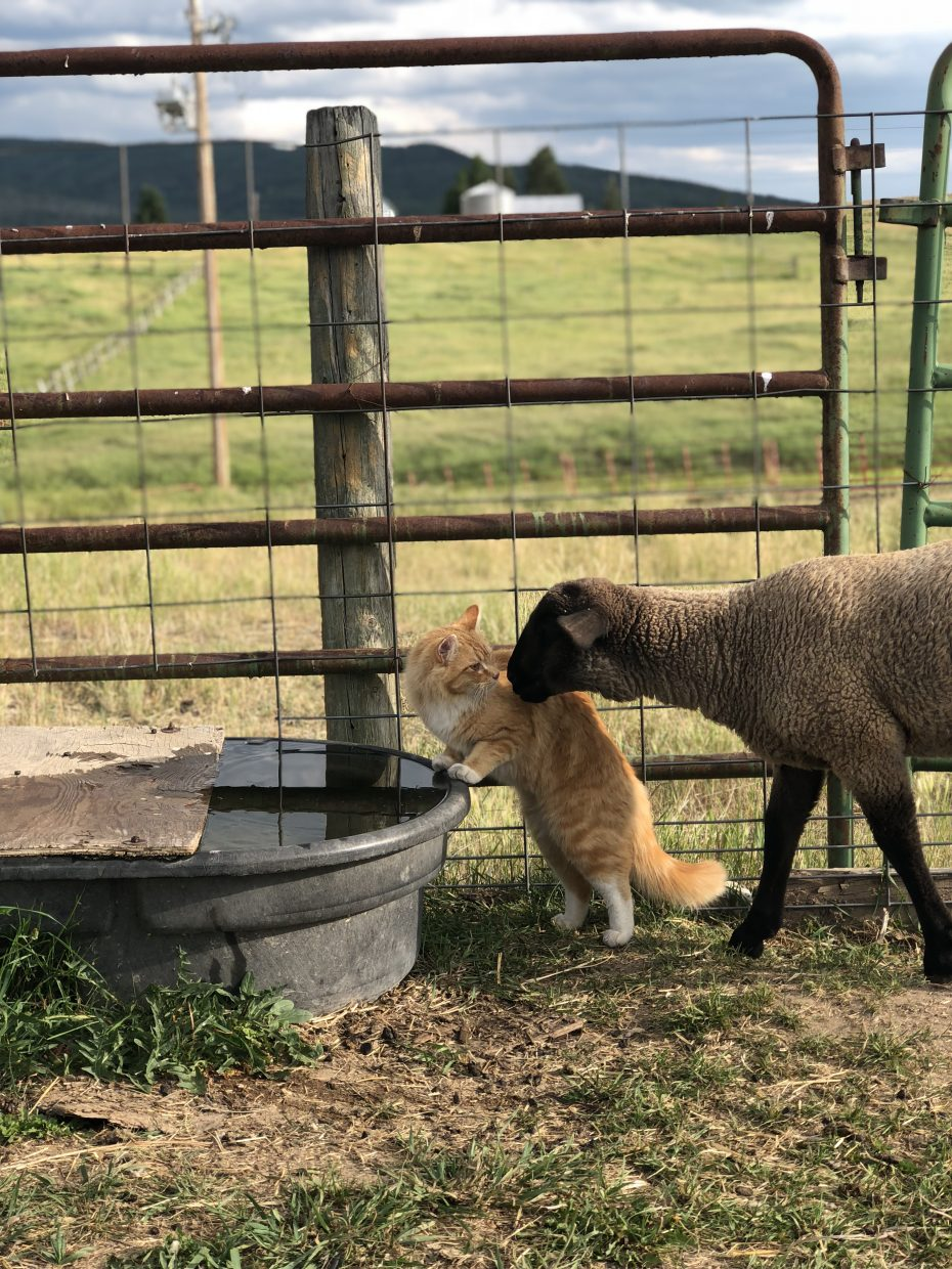 A cat hisses at a sheep attempting to share a water trough.