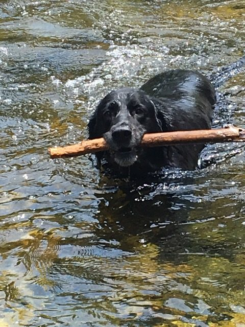 A dog fetches a stick at Fish Creek.