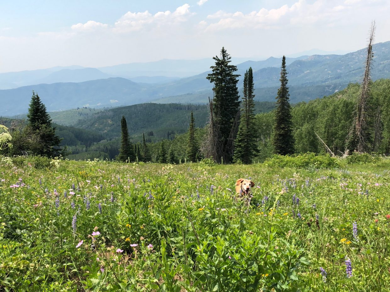 Our dog Harley while he was running through wildflowers up on Buff's Pass.