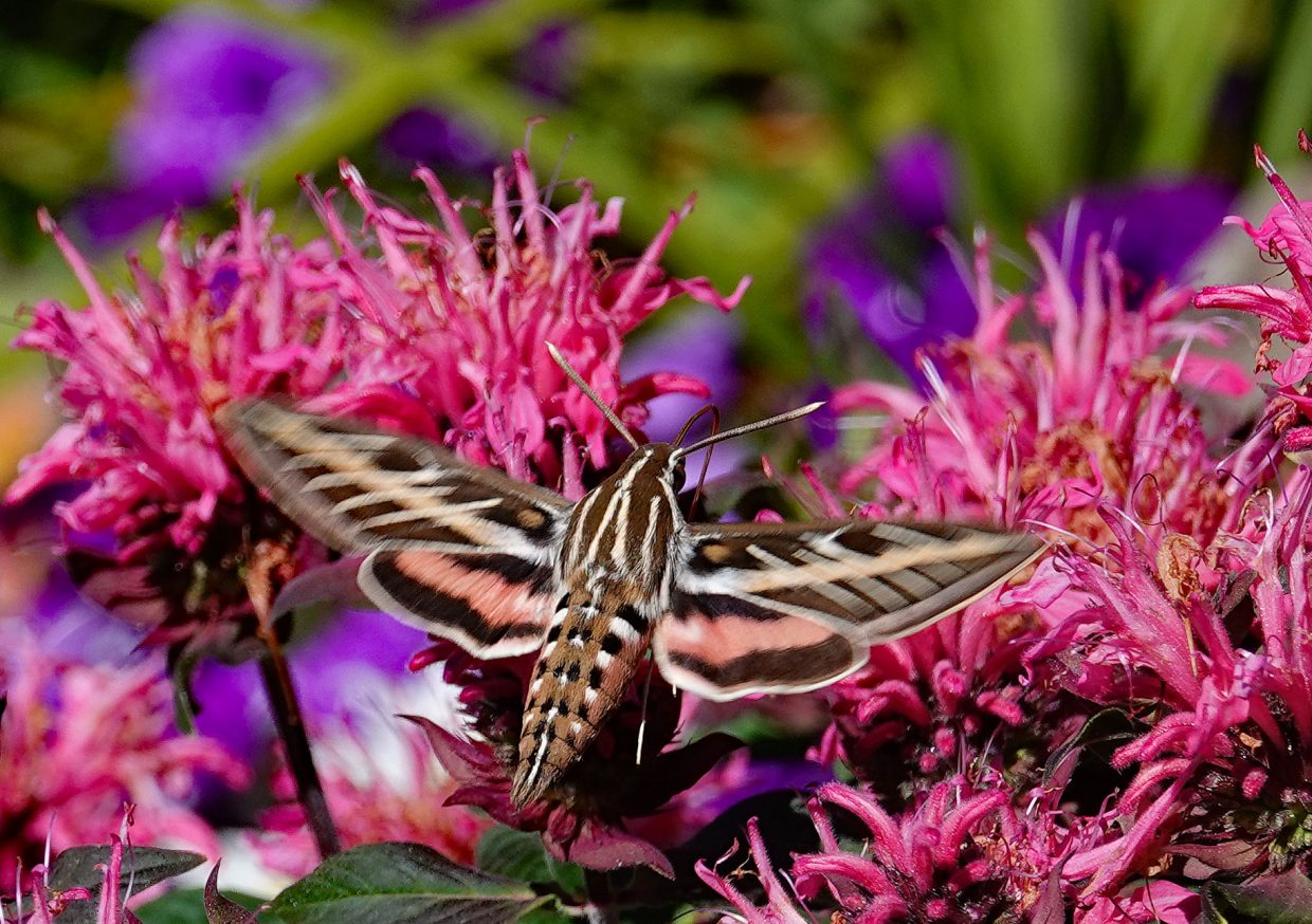 Sphinx Moth at the Yampa River Botanic Park