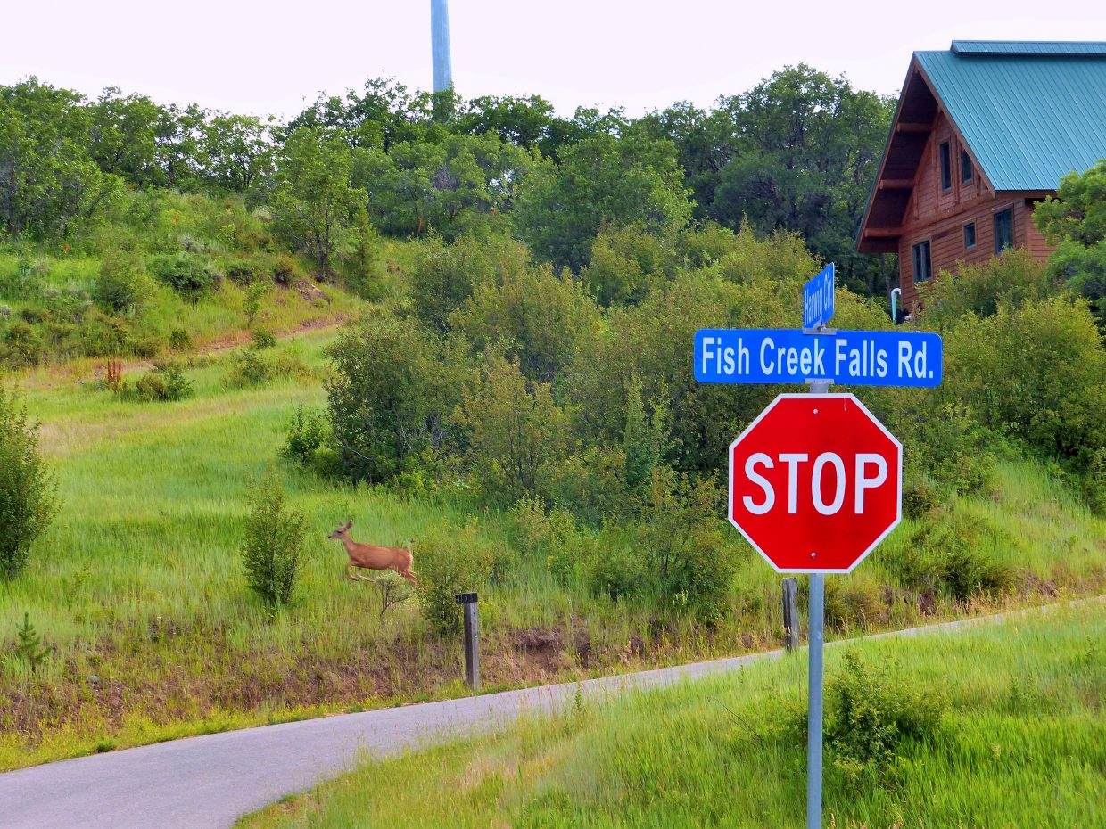 Here's a little deer, bounding through the woods, into my neighborhood tonight, along Fish Creek Falls Road in Steamboat Springs.