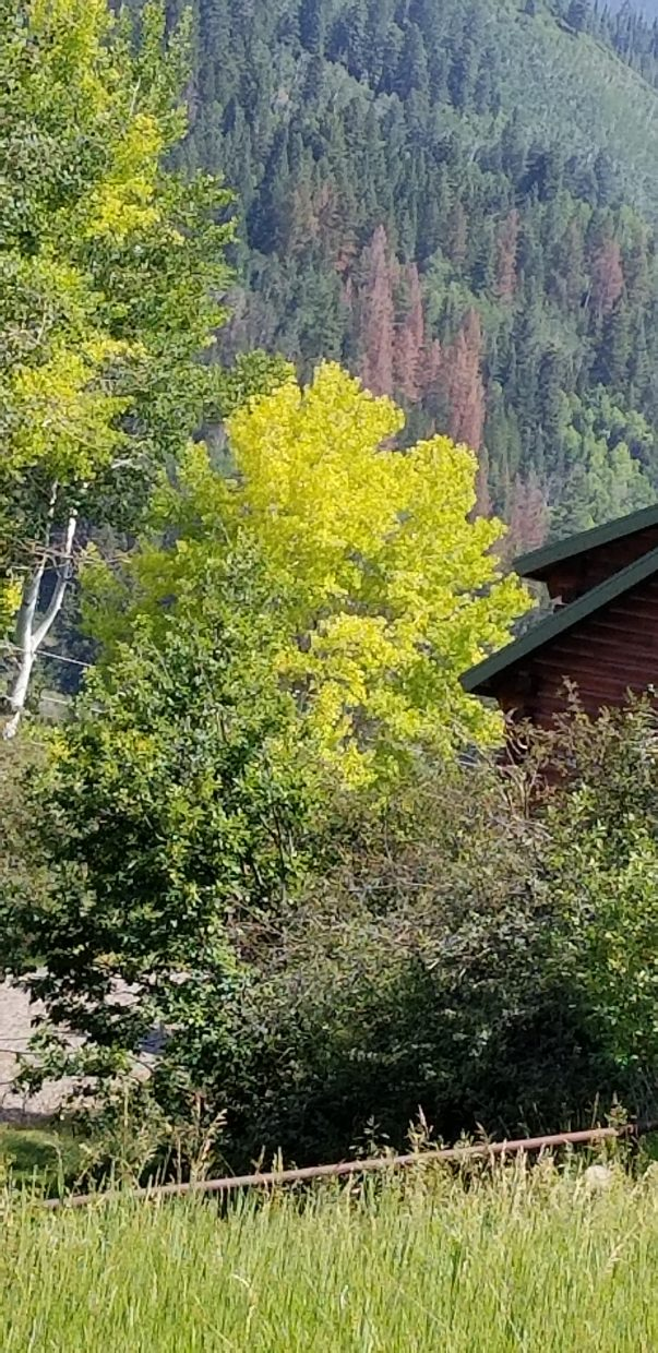 This Aspen tree was spotted Friday in Rio Blanco county, turning a little too early.