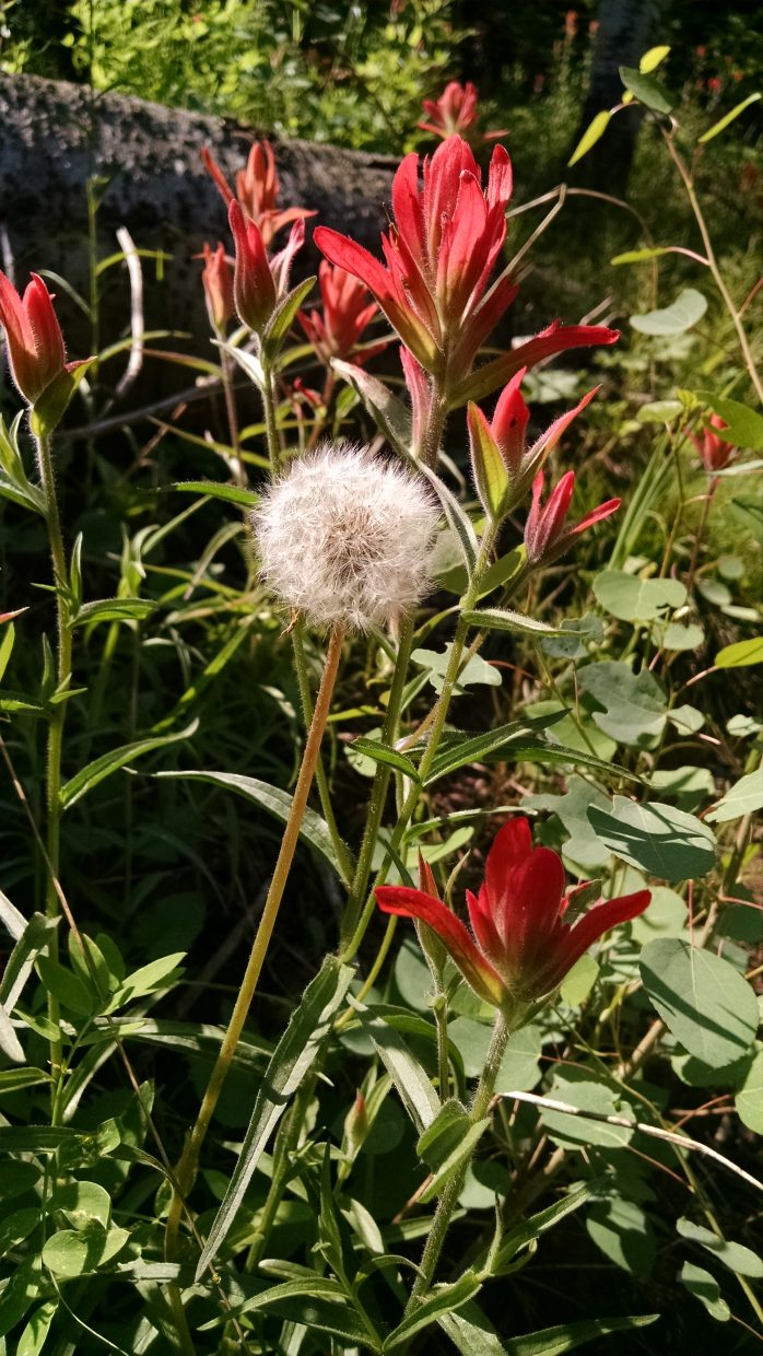 Red flowers bloom around a dandelion resembling fireworks.