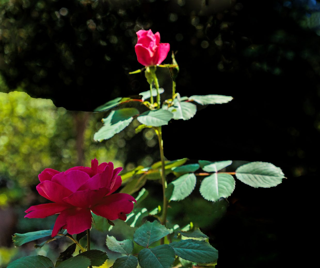A pair of roses blossom.