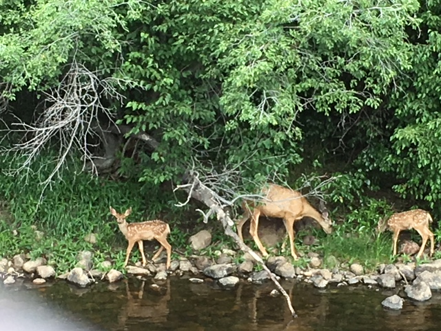 Mother deer and two fawns