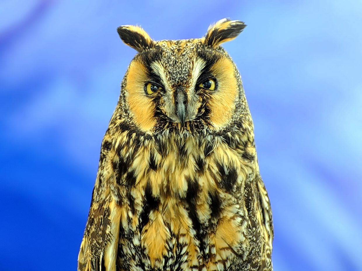 A great horned owl stares down the camera while being a part of the Rocky Mountain Raptor Program at the 44th Annual Art in the Park.