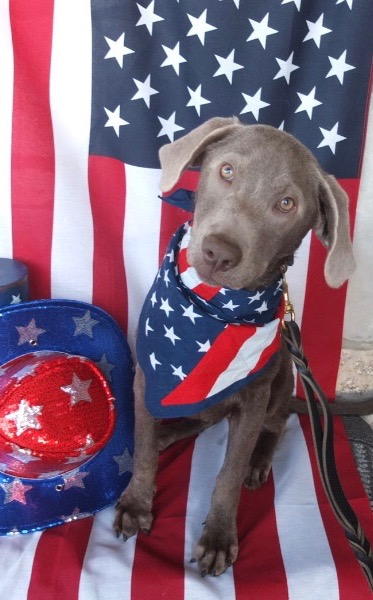 Stella, a four-year-old, silver lab, shows off her patriotism.