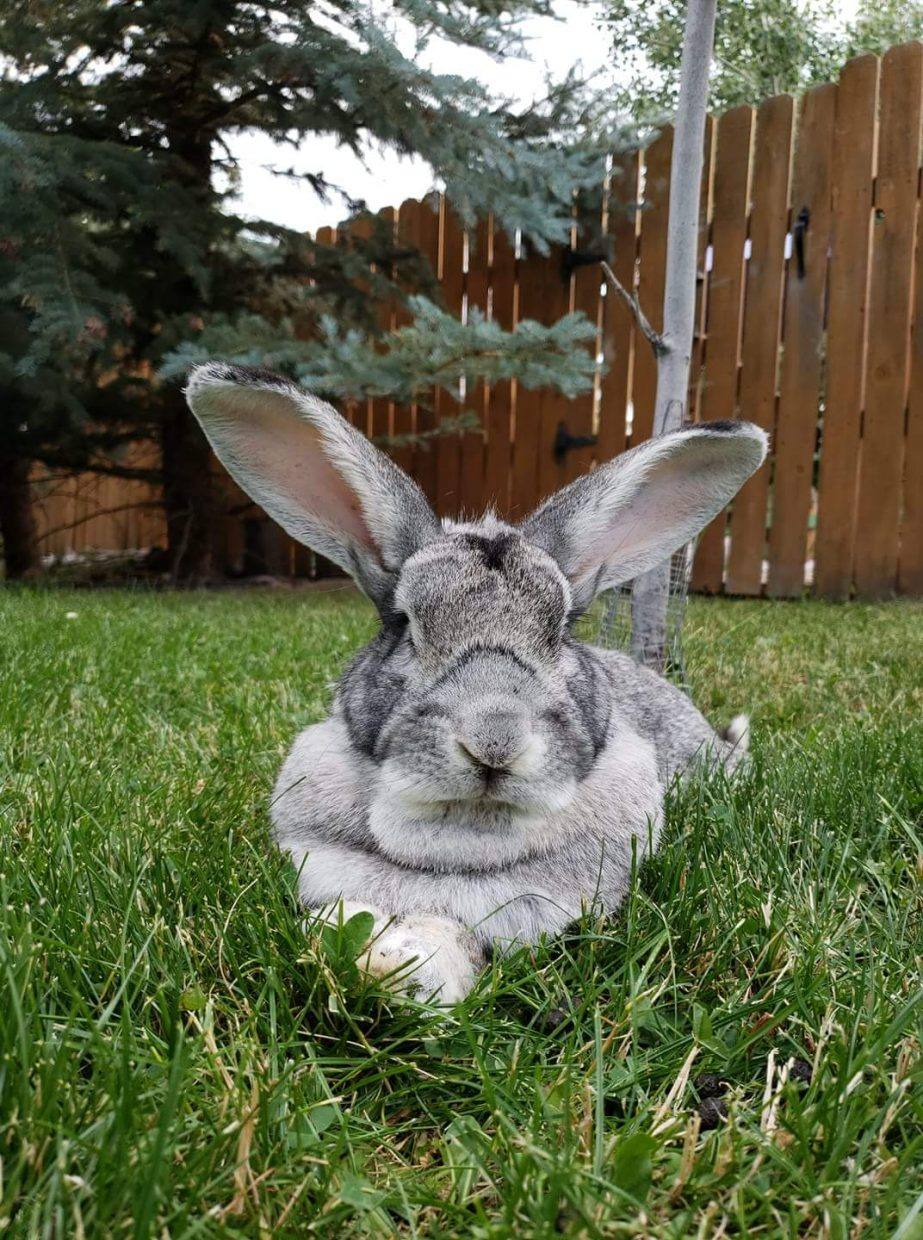 Lincoln, a giant rabbit, lounges in the grass.
