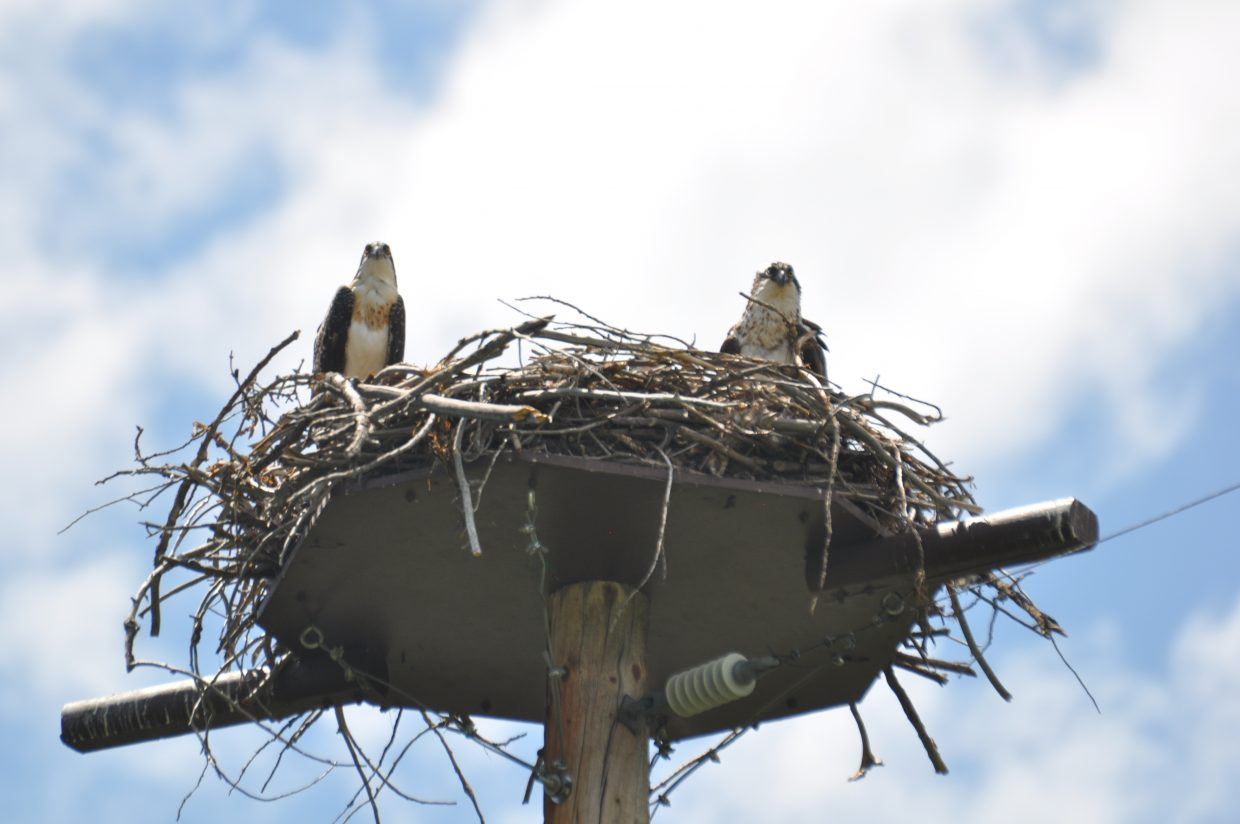Two osprey look down from their nest at the Yampa River Botanic Park.
