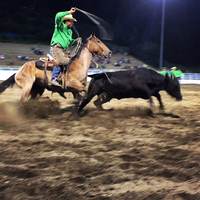 A cowboy races in to rope a bull at the Steamboat Springs Pro Rodeo Series.
