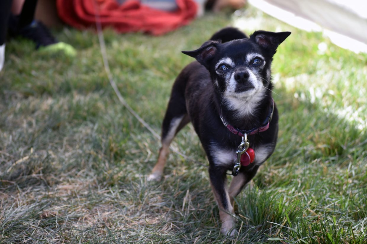 Violet, an elderly Chihuahua, hangs out Wine Stave Designs' booth with her owner, artist Patricia Mclernon at Art in the Park in Steamboat Springs on Sunday.