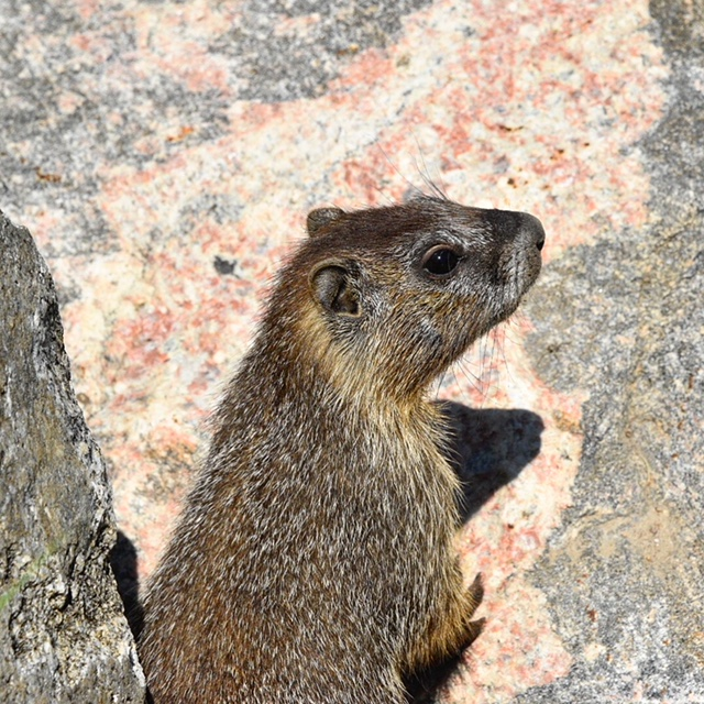 A marmot pops up for a visit at Lake Catamount.