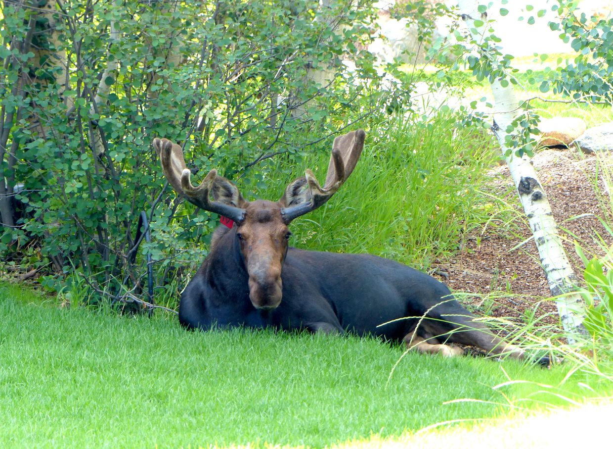 A bull moose lounges in the shade on Fish Creek Falls Road on Sunday.