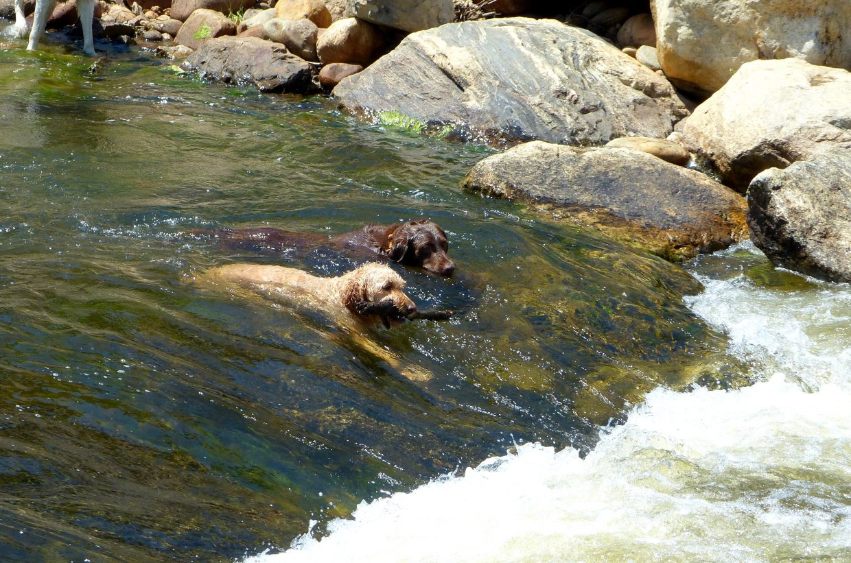 Two dogs play in the Yampa River.