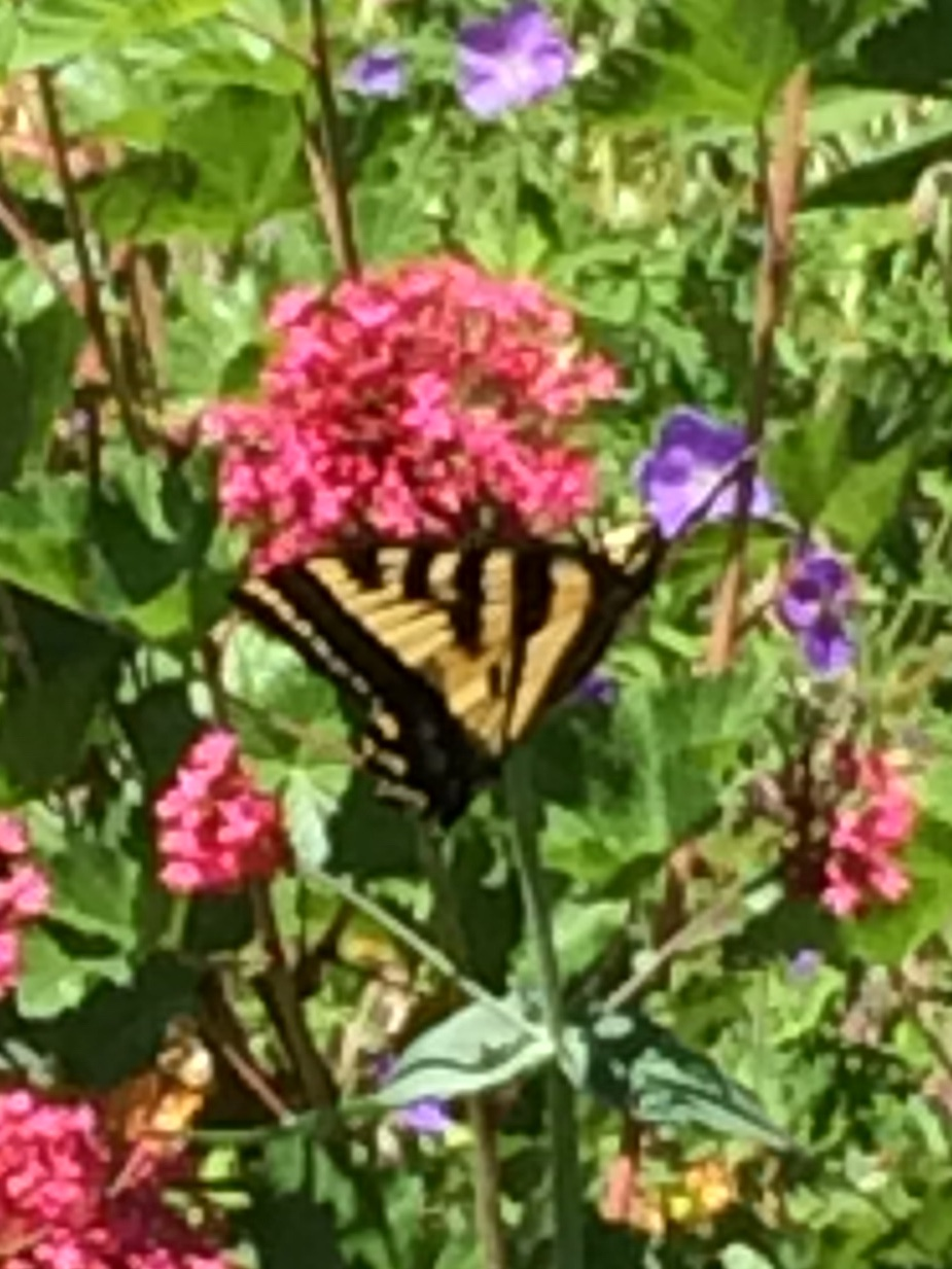 Butterfly perches on red valerian.