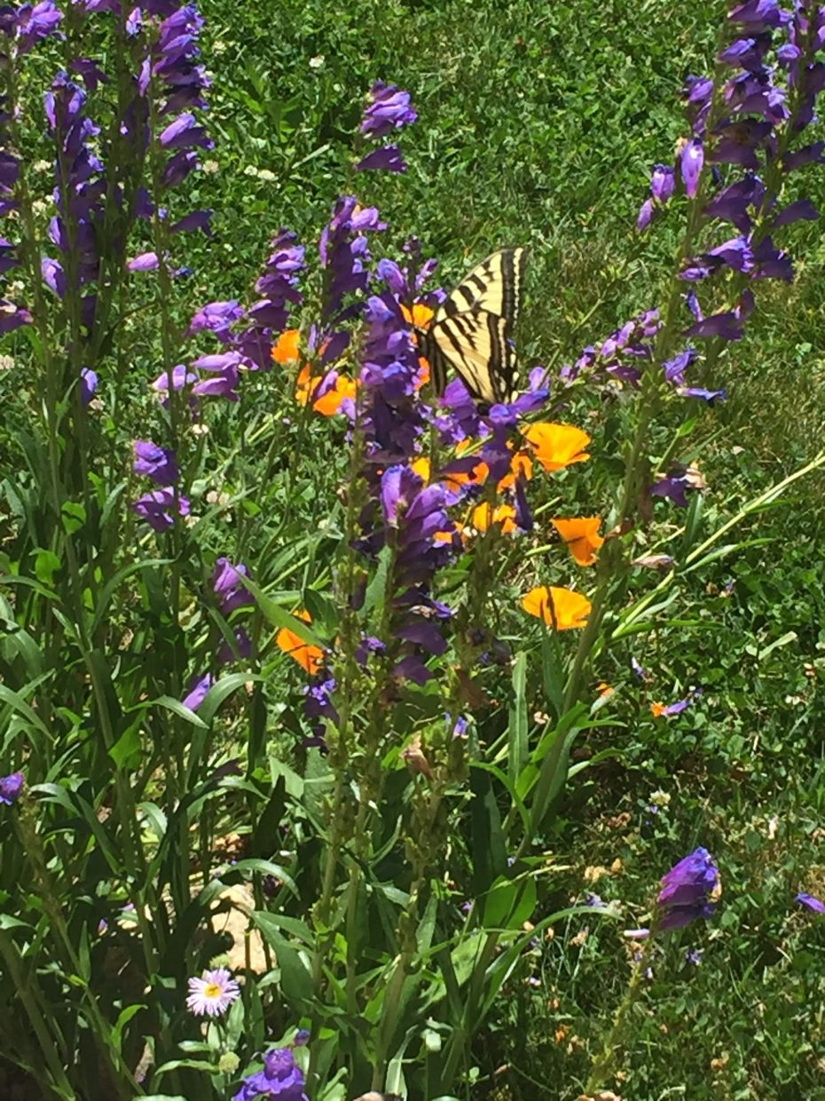 A butterfly perches on Rocky Mountain penstemon.