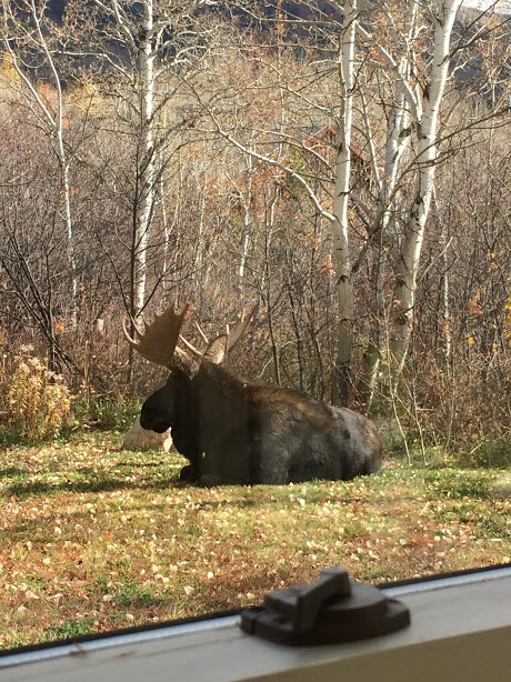 Moose rests in Vicky Barney's yard.