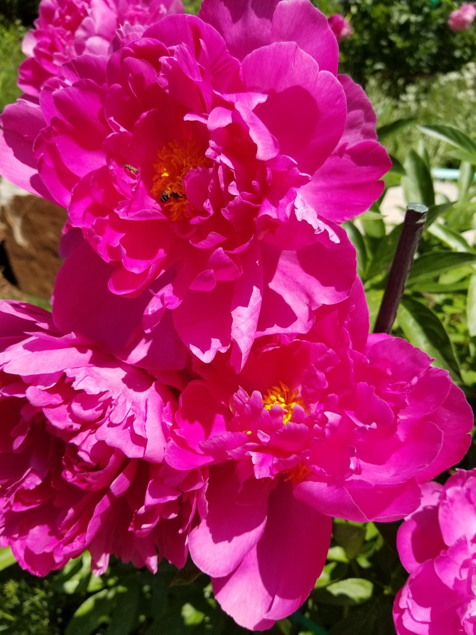 Peonies are in bloom at the Yampa River Botanic Park.